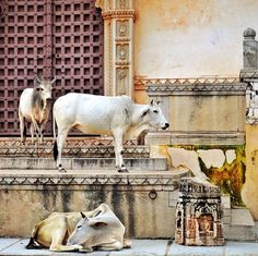 Varanasi - I love Indian cattle so much - they have gentle faces.