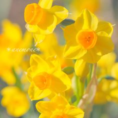 #水仙#Narcissus#flower