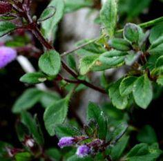 Acinos alpinus Alpine Calamint.   CONDIMENT ... TEA .... from plants!