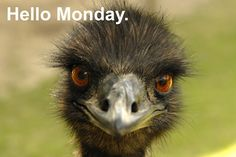 Emus don't like Mondays either.