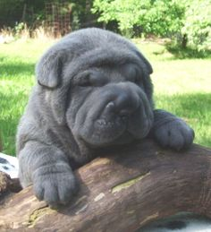 Shar Pei Puppy dogs-and-cats