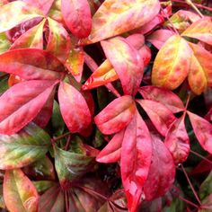 Firepower Nandina is lime green in the summer and blazing red in the fall! A compact semi-evergreen, in a group it can be a powerful presence in your garden. get yours today at gardengoodsfirect.com! Colorful Shrubs, Evergreen Landscape, Top Soil, Nandina Plant, Cypress Mulch, Perfect Plants, Types Of Mulch, Plant Tone, Plants