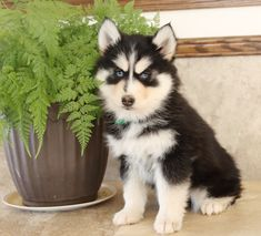 💚😊 #Brighteyed and an #Entergetic #Pomsky puppy, Jade is so adorable!! Pomsky pups are sweet and fun to have as a #familypet. #Charming #PinterestPuppies #PuppiesOfPinterest #Puppy #Puppies #Pups #Pup #Funloving #Sweet #PuppyLove #Cute #Cuddly #Adorable #ForTheLoveOfADog #MansBestFriend #Animals #Dog #Pet #Pets #ChildrenFriendly #PuppyandChildren #ChildandPuppy #BuckeyePuppies www.BuckeyePuppies.com Pomsky Puppies For Sale, Cute Puppies, Lancaster Puppies, Animals Dog, Mans Best Friend, Puppy Love, Doggies, Husky, Jade