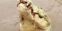 Rare Albino crocodiles 'Michael Jackson' Human Prey