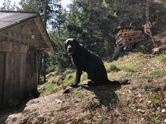 Family Dogs, Arrow, Labrador, Animals, Animales, Animaux, Labradors, Animal, Animais