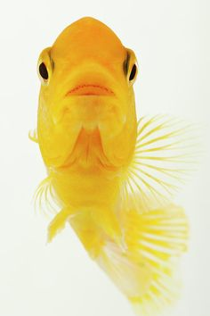 Yellow Comet Fish