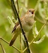 animal wildlife nightingale the
