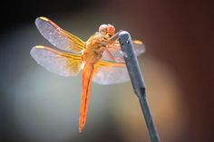 Red Dragonfly Photo by: Diana Sanders I took this photo in Austin, Texas. I had never seen a Red Dragonfly before and thought he was so pretty.