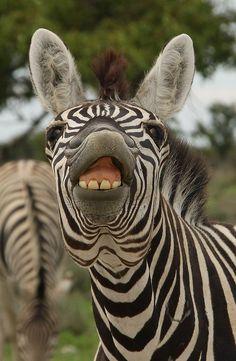Zebra w a stiff upper lip