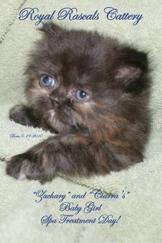 Baby Persian  http://www.royalrascalscattery.com/id2.html