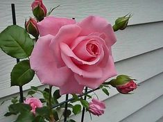 New amazing flowers pics every day, be the first to see them! Fantastic flowers will make your heart open. All Flowers, Amazing Flowers, My Flower, Pretty Flowers, Beautiful Pink Roses, Pretty In Pink, Perfect Pink, Roses Only, Rosa Rose