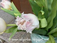 Wunderschöne gefranste Tulpen Garlic, Friday, Vegetables, Food, Daffodils, Natural Garden, Shade Perennials, Fringes, Tulips