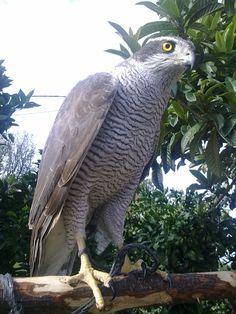 Turkey, Rize, Sparrow Hawk