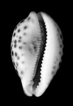 Edward Weston shells …