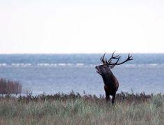 Die Hirschbrunft am Darßer Ort   Brunft der Rothirsche im Nationalpark an der Ostsee (c) FRank Koebsch (3)