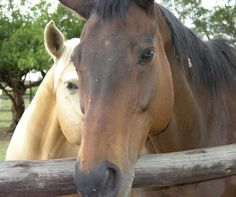 Ben and Boytjie Horses, Animals, Animales, Animaux, Animal, Animais, Horse