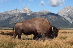 AMERICAN BISON INFORMATION ... A bison in a golden field grazing on grass, in front of mountains.