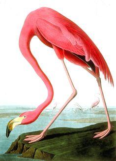 John James Audubon, American Flamingo, http://fineartamerica.com/featured/american-flamingo-john-james-audubon.html