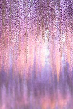 Wisteria, Ashikaga Flower Park, Tochigi, Japan via GANREF  香る藤色
