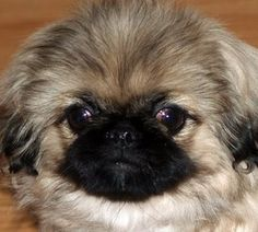 Beautiful pekingese puppy
