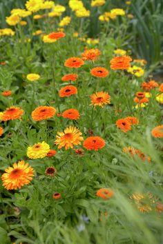 Die Ringelblume ist cool genug, um mit vielerlei Böden klarzukommen. Meist ist sie aber zu stolz, um ein zweites Jahr dranzuhängen. Deswegen ist sie schon sofort mit voller Blüte dabei.