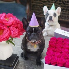 When the same brother who farts on you & takes your toys buys you roses @venusetfleur for your birthday 🎉 🌹#didhesmokesomethingthismorning? #ChloeTurns4 ▫▫▫▫▫▫▫▫▫▫▫▫ #puppiesofinstagram#frenchbulldog#frenchie#frenchiesofinstagram #frenchies#frenchiesofinsta#frenchbulldogsofinstagram#frenchbulldogsofinstagram #instalove #instagram #instalife #instaphoto #instacute #dogslife#dogstargram#dogsofinsta#dogsofig#dogsofinstagram#puppiesofig#puppylove#puppygram#sundaes…