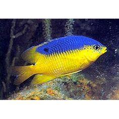Link has a lot of specific info on keeping a damselfish