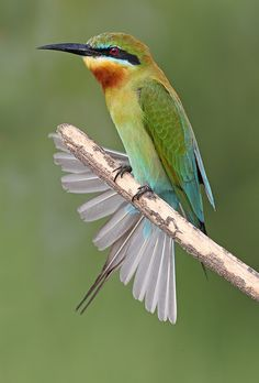 Blue-Tailed Bee-Eater. Photo by malaysian wildlife photography