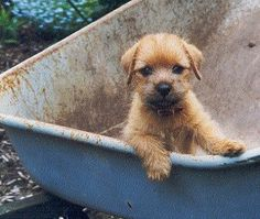 Norfolk Terrier puppy...........in a wheelbarrow yet ~ must get a Darby pic like this one!!!