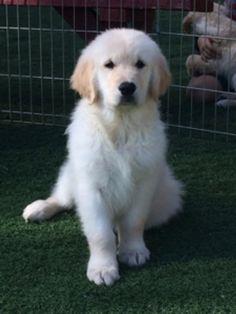 Current Litters | Cielos Golden Retrievers Golden Retriever Collie Mix, Retriever Puppy, Golden Retrievers, Puppies, Retriever Puppies, Puppys, Newborn Puppies, Pup, Cubs