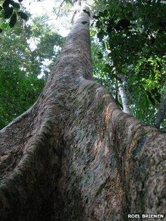 Large Amazonia tree species (Image: Roel Brienen)