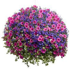 Recipe for this basket (12 in ). 1 Supertunia Mini Strawberry Pink Veined, 1 Lobelia - Dark Blue, 1 Bacopa - Snowstorm Giant Snowflake. Plants should be bought in 4.5 inch pots or bigger. Place the 3 plants in basket in a triangle pattern evenly.