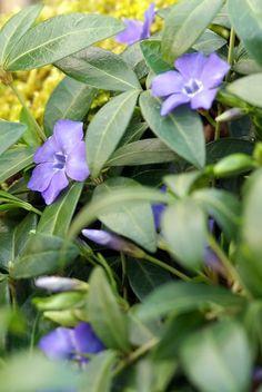 Groenblijvende bodembedekkers met paarse bloemen Perennials, Plants, Vinca Minor
