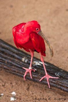 Scarlet Ibis, Parque das Aves, Brazil. Photo copyright ©️️️️️️️️️Sarah Albom 2016