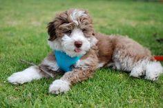 aussiedoodle,aussiedoodle breeder,aussiedoodle puppies,australian shepherd,miniature australian,aussie poo, aussie poo puppies