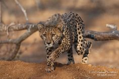 We are first and foremost African safari specialists. We are also a travel company with a difference; our partners include professional Pan-African safari guides whose knowledge, experience and passion infuse every one of our safaris. Travel Companies, African Safari, Cheetah, Photo Galleries, Pta, Wildlife, Gallery, Zimbabwe, Animals