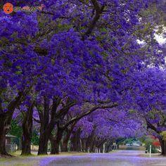 Compra jacaranda la plantación de árboles online al por mayor de ...