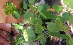 Papalo Porophyllum Coloratum Seeds