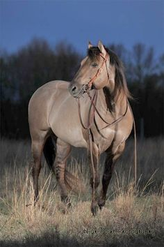 "Kansas City ""Twister"" is a gorgeous 1995 Silver Grulla AQHA Stallion. Twister has high dun factor with lots of tiger stripes. He's also homozygous for black so he doesn't produce red based offspring."
