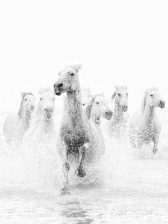 White Horses of Camargue Running Through the Water, Camargue, France Impressão fotográfica