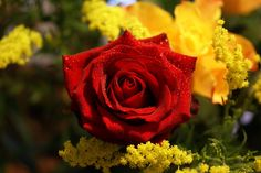 red rose with sparkling water