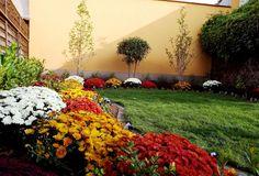 Wonderful autumn colours- chrysanthemum multiflora mums flower bed, csodálatos őszi színek: gömb krizantém ágyás