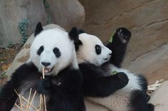 https://flic.kr/p/Jv5Ppo | 10-month-old (almost) Nuan Nuan and mother Feng Yi…