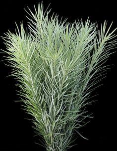 Podocarpus drouynianus - Emu Grass