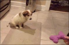 El Cachorro flojo tratando de jugar