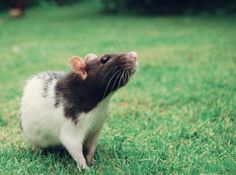 rats-photography-by-Jessica-Florence-part2-19