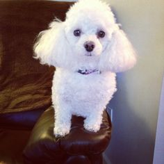 Toy poodle - We had 2 of them when we were 1st married. Angel & Brandy