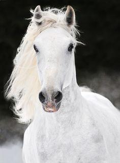 images of lipizzaner horses | Startseite Haustiere Pferde Pferderassen Warmblüter Lipizzaner