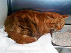 12/6, Domestic Short Hair Orange Tabby Cat, Pecos and Fairwood - A98752,