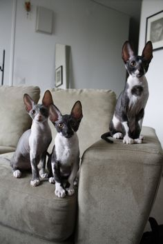 The Black Hat Society — jodystopia: trixietreats Beautiful Cats, Animals Beautiful, Cute Animals, Cat Brain, Cornish Rex Cat, Here Kitty Kitty, T Rex, Cat Breeds, Crazy Cats